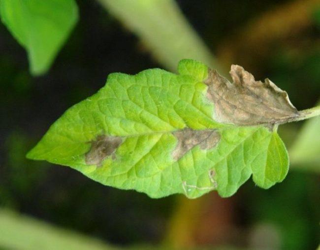 Серо-бурые пятна на листе помидоры от фитофторы