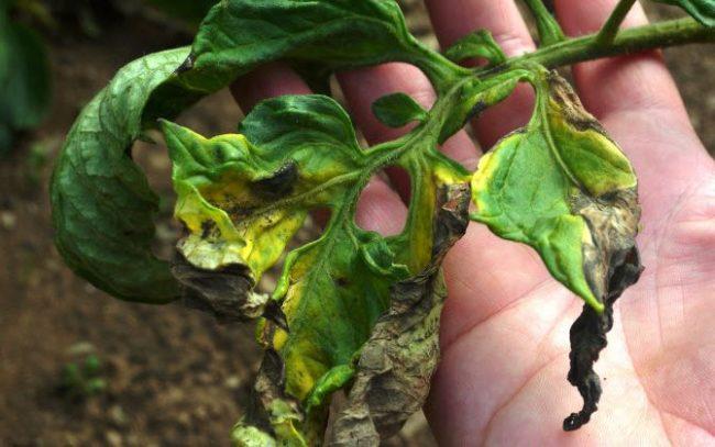 Ветка томата с листьями, погибающими от фитофтороза