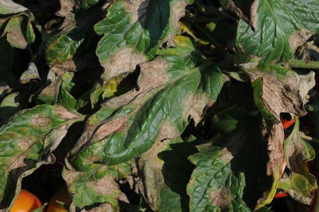 Бурые пятна на листьях томата при заражении растения фитофторой