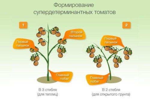 Порядок удаления пасынков у супердетерменантных сортов помидоров