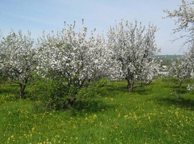 Фруктовый сад с грушей Краснобокая и другими сортами