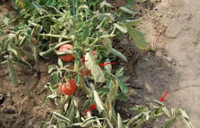 Куст помидоры со скрученными листьями от фузариоза