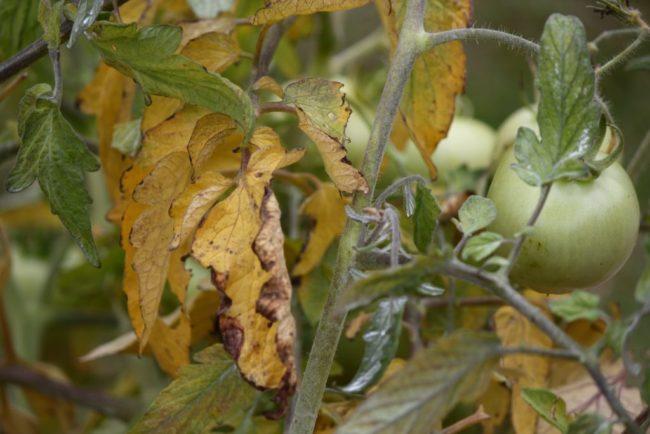 Желтые листья на ветках помидоры при поражении фузариозом