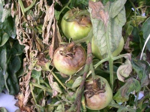 Гниение помидоры в теплице с излишней влажностью воздуха