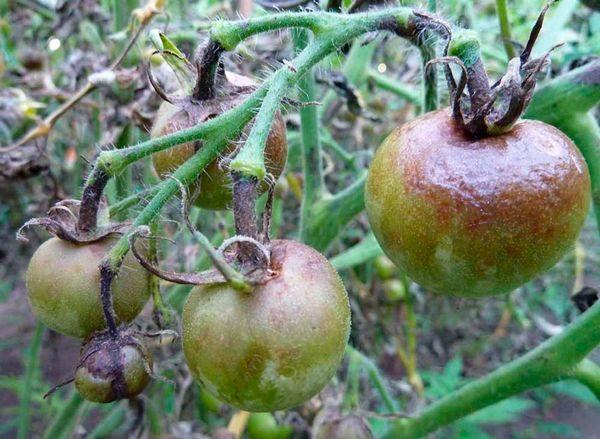 Гниющие плоды помидоры на больных и потемневших ветках