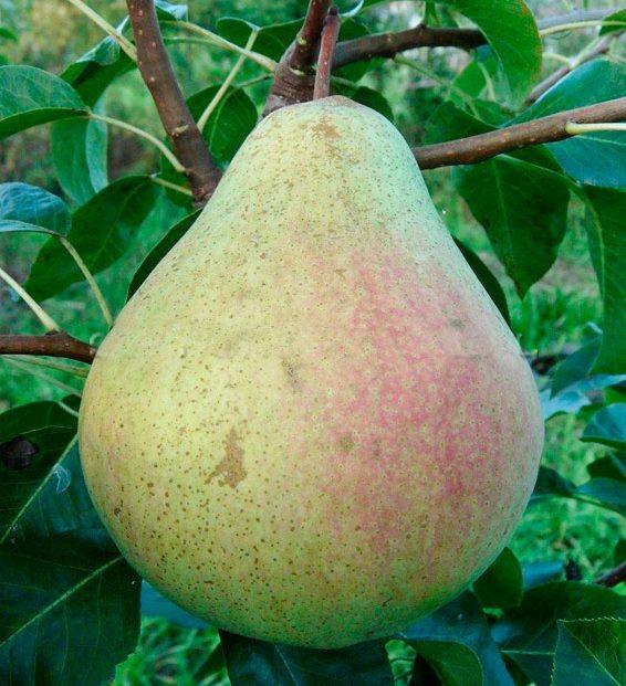 Крупный плод груши самарского сорта Маршал Жуков на ветке