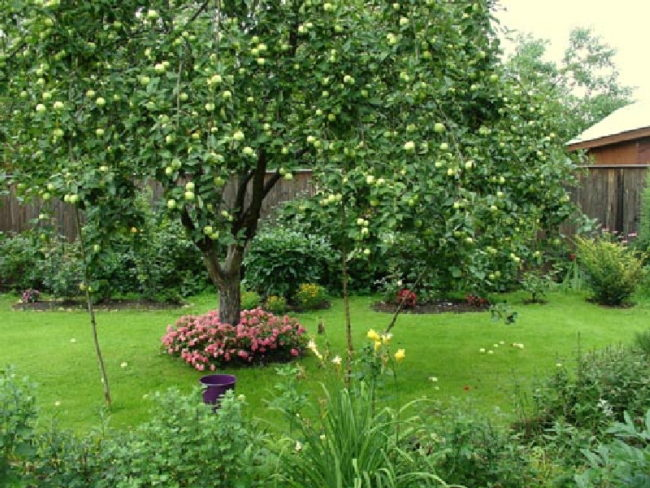 Большое дерево груши посередине дачного участка