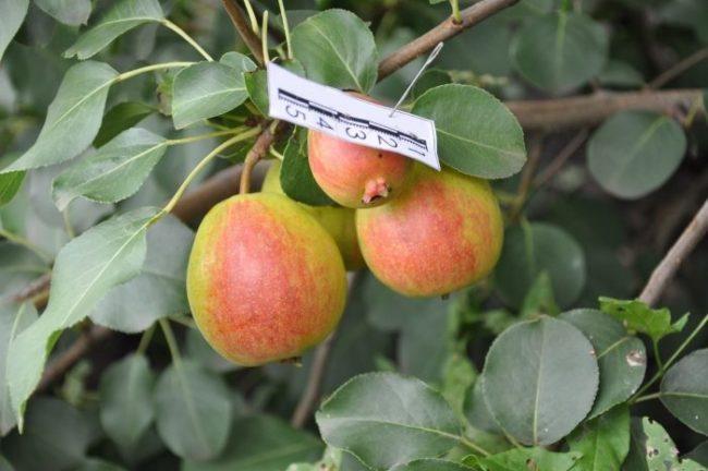 Спелые груши сорта Краснобокая с розовым румянцем на одной стороне плода
