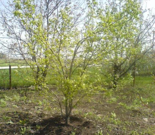 Молодое деревце груши гибридного сорта Мальвина