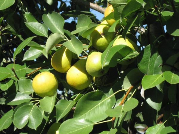 Массивные плоды груши Осенняя Яковлева среди листьев на ветках взрослого дерева