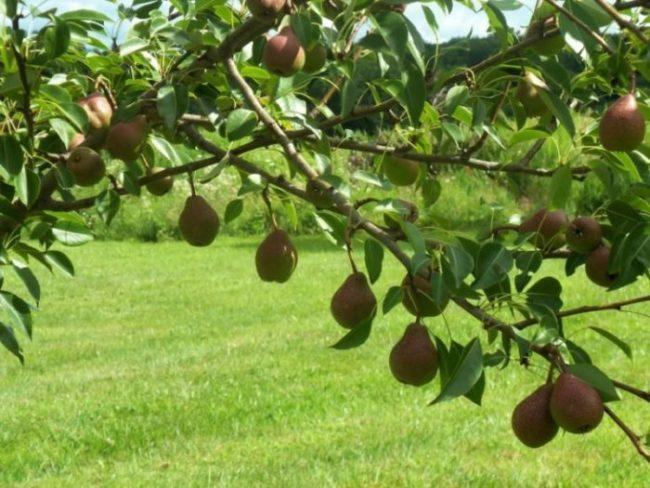 Наклонившаяся ветка груши с краснобокими плодами