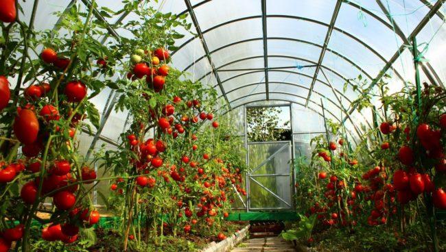 Спелые плоды на кустах помидоров индетерменантных сортов