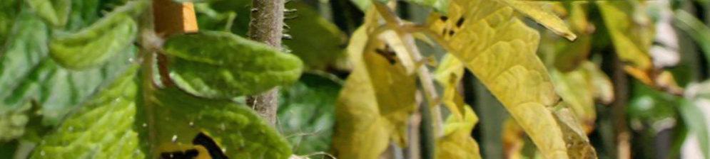 Желтеющий лист на кусте помидор вблизи и зелёный лист
