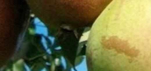 Созревающие плоды груши Маршал Жуков вблизи