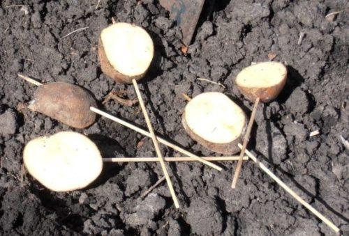 Разрезанные клубни картофеля для приманки личинок жука-щелкуна