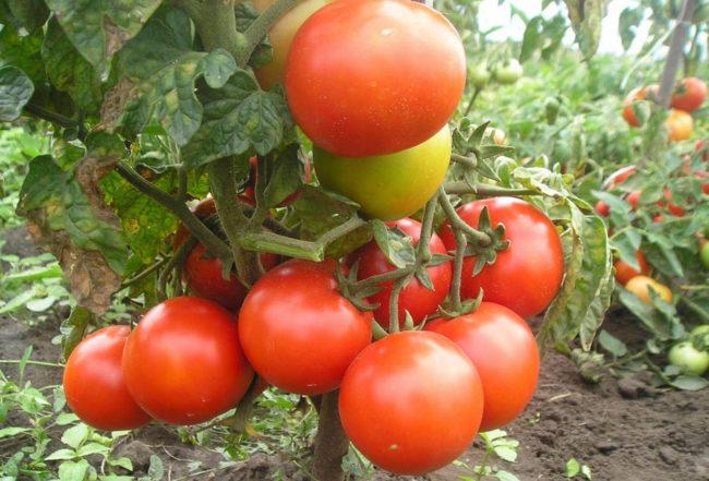 Кисть со спелыми помидорами красного окраса