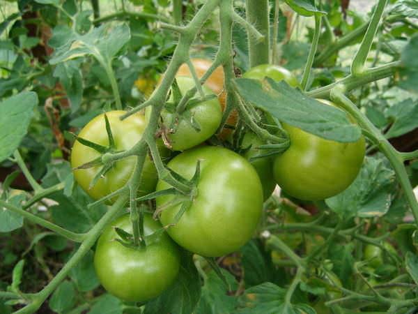 Кисть с зелеными помидорами в тепличных условиях