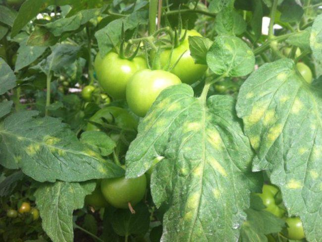 Желтоватые пятна на зеленых листьях помидоры от кладоспориоза