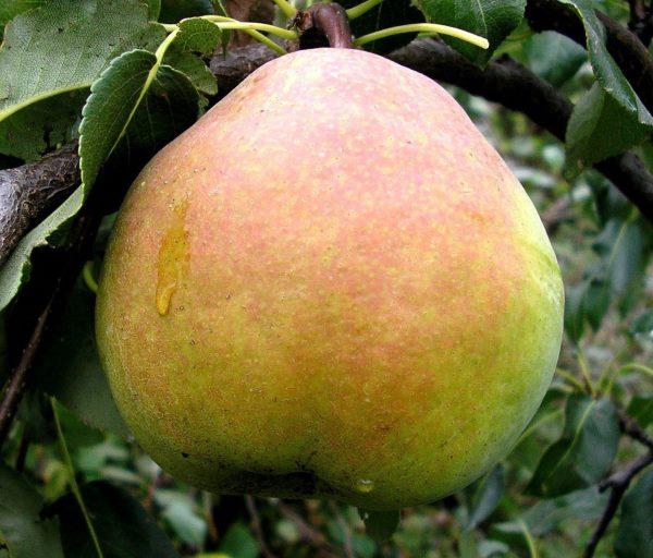 Большой плод груши сорта Краснобокая с красноватым бочком