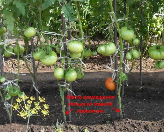 Месторасположение кольца из медной проволоки на стволе томатов