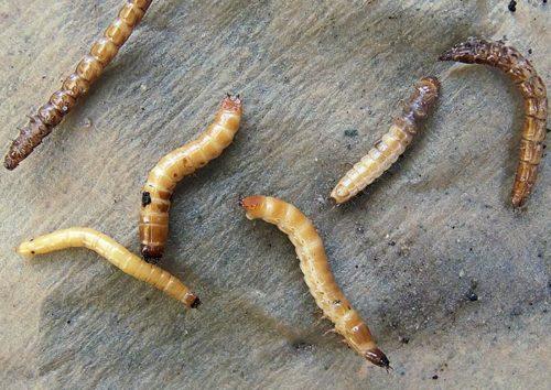 Фото личинок жука-щелкуна крупным планом