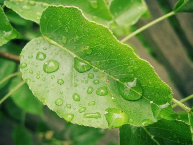Фото зеленого листа груши с капельками дождя на пластинке