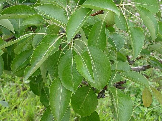 Зеленые листья груши правильной формы на ветке дерева