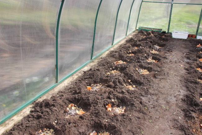 Лунки с шелухой лука для посадки помидоры в теплице