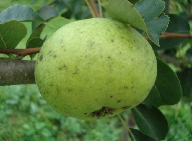 Крупный плод зеленого окраса груши сорта Мальвина