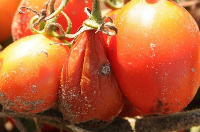 Плод томата с признаками заболевания растения мокрой гнилью