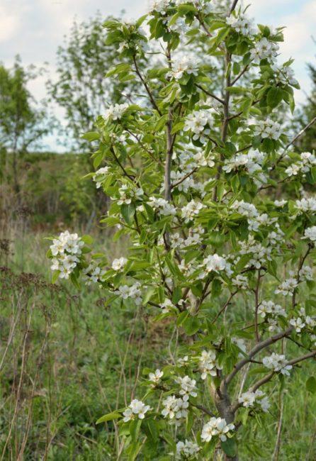 Фото молодой груши сорта Маршал Жуков во время цветения