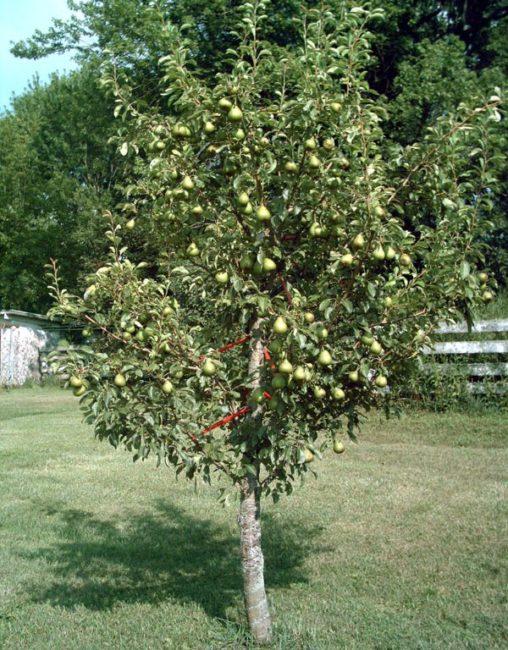Пятилетнее деревце груши селекционного сорта Февральский сувенир
