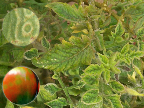 Признаки заражения томатов табачной мозаикой