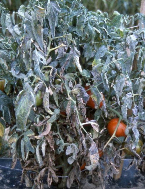 Куст помидоры с мучнистой росой в последней стадии заболевания