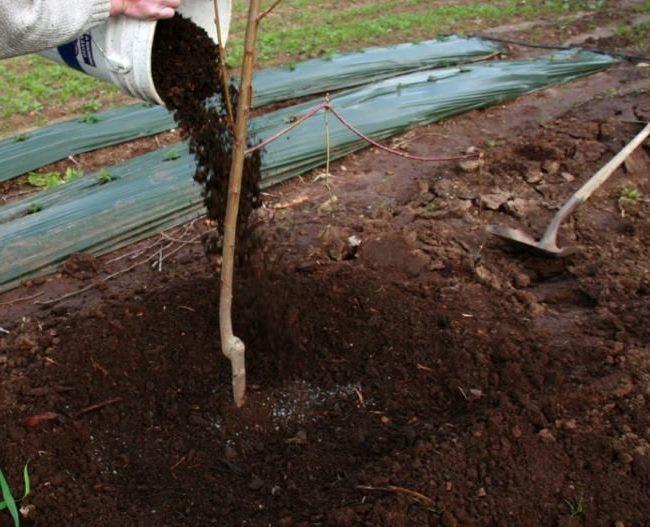 Внесение мульчи из перегноя на приствольный круг саженца груши