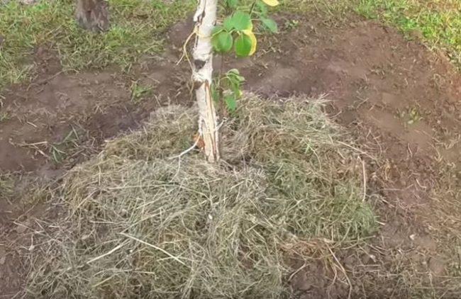 Мульчирование и подвязка саженца груши при посадке