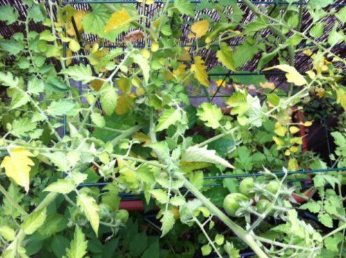 Пожелтение листьев помидоров вследствие недостатка азота
