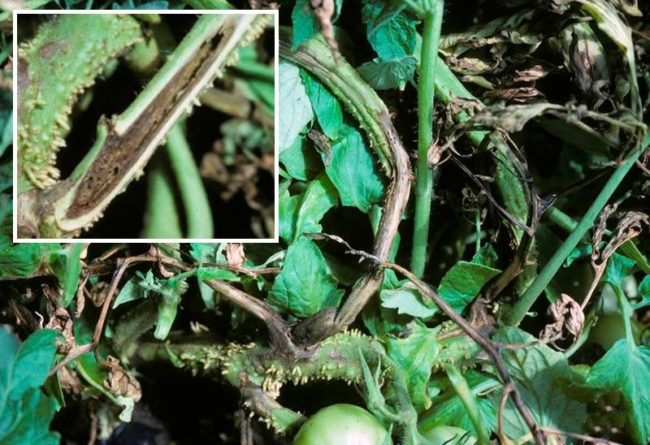 Признаки поражения помидоры некрозом в начале плодоношения