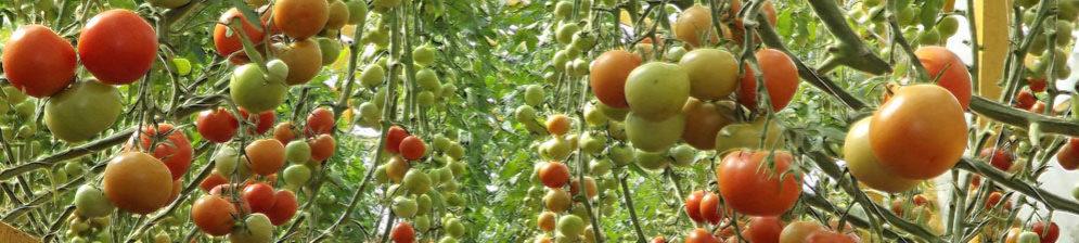 Немного красные помидоры в теплице и зелёные