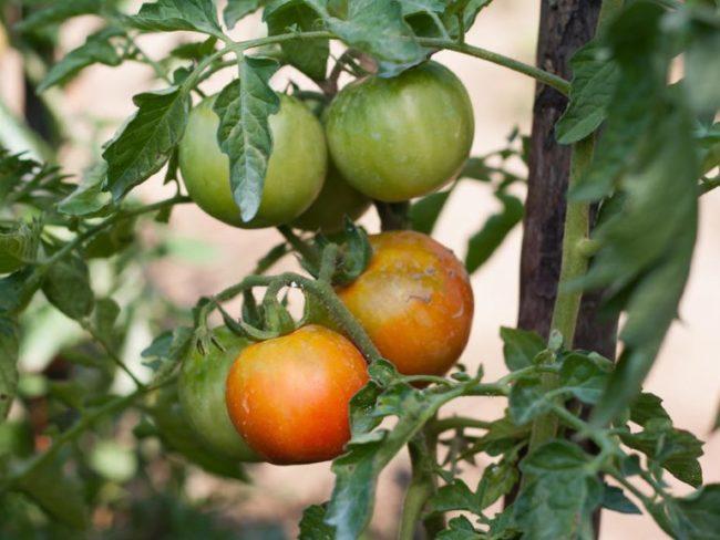 Куст томата с неравномерно краснеющими помидорами