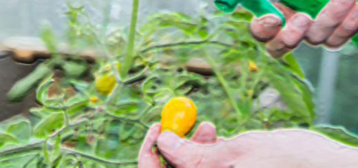 Обработка бурелых помидоров с распылителя йодом