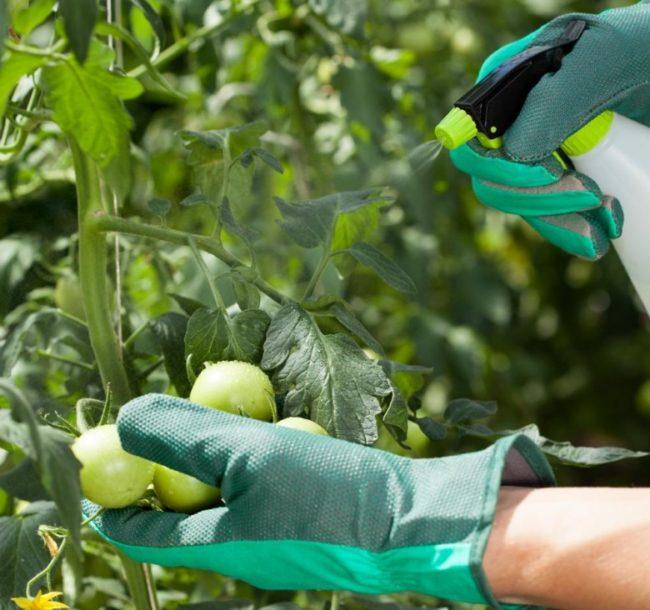 Процесс опрыскивание куста помидоры борной кислотой