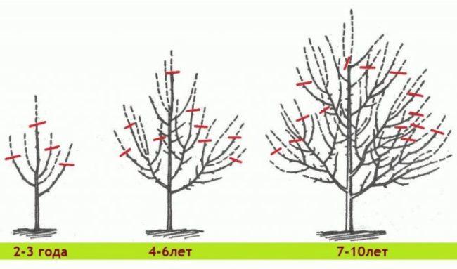 Схема обрезки груши в зависимости от возраста дерева