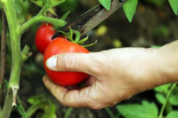 Срез плода помидоры с ветки для дальнейшей заготовки семян