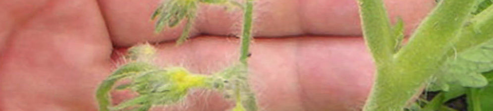 Опавшие завязи помидор вблизи пропал цвет