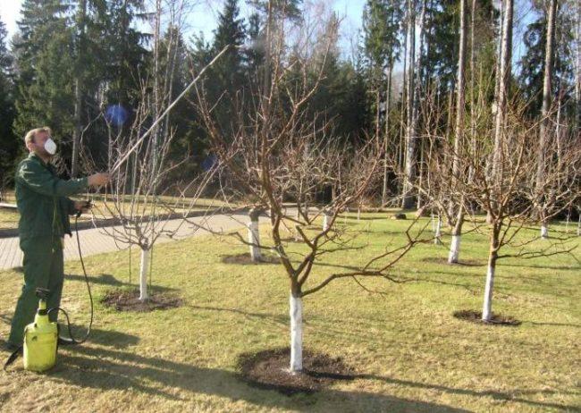 Весенняя обработка грушевого сада раствором медного купороса