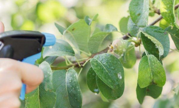Обработка больных листьев груши из ручного распылителя