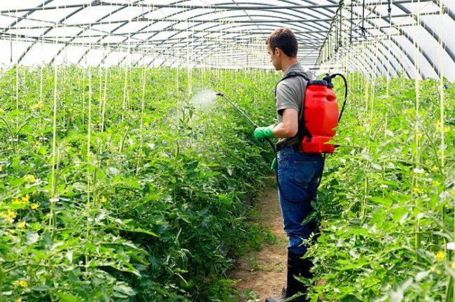 Профилактическая обработка помидоры в теплице из ранцевого опрыскивателя