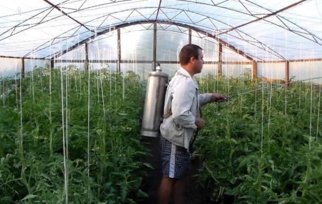 Обработка тепличной помидоры от заболеваний, вызывающих гниение плодов