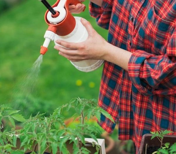 Внекорневая подкормка рассады помидоры раствором борной кислоты